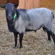 Племенные овцы и бараны романовской породы