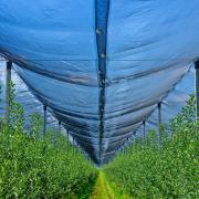 Высокая плотность посадки саженцев обеспечивает технологичный и эффективный процесс ухода за садом