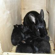 Племенной молодняк чистопородных кроликов