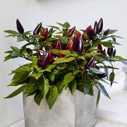 Декоративный перец Акапулько фиолетовый