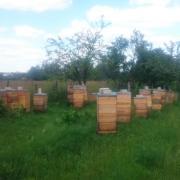 Пчеломатки, пчелопакеты, пчелосемьи Carnica F1 и Buckfast F1