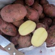 Картофель оптом. Урожай 2016.