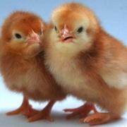 цыплята Хайсек Браун (коричневые)