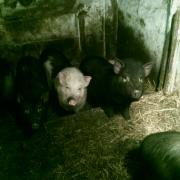 Вьетнамские свиньи 6 месяцев