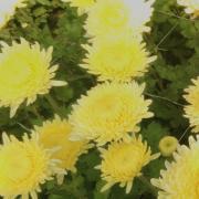хризантемы на продажу