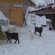 козы на прогулке после морозов