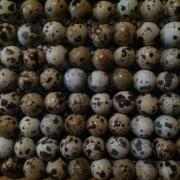 Инкубационные яйца.