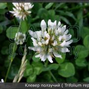 Клевер (белый) ползучий (Trifolium repens)