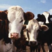 Реализуем крупный рогатый скот