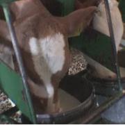 откорм бычков на нежную говядину