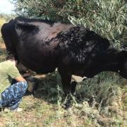 Коровы, теленок, бычок