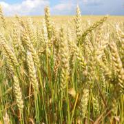 Яровая пшеница фото