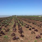 Выращивание салата в Крыму