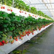 промышленная теплица для выращивания клубники