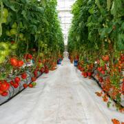teplica_pomidory.jpg