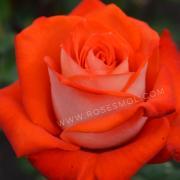 Роза чайно-гибридная Верано