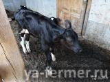 Продаются бычки разного возраста черно-пестрой породы (от 1 месяца до 1 года)
