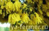 Серебристая акация, Acacia dealbata Link фото
