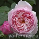 ароматическая роза фото