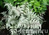 athyrium_wildwood_twist.jpg