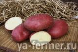 Семенной картофель Маяк (элита, суперэлита) от СеДеК.