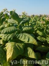 Семена табака почтой. Продам семена табака.