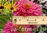 echinacea_pink_poodle.jpg