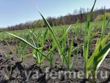 Республика возможностей: В Тукаевском районе фермер при поддержке Минсельхозпрода РТ занялся выращиванием чеснока