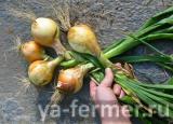 добавляем ещё луковицы
