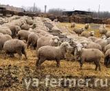 Ученые ДонГАУ создают универсальный по направлению продуктивности тип овец