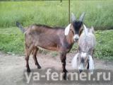 Продам нубийских и альпийских коз