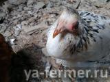 У цыпленка опух глаз