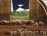 Продам стадо баранов, овец и молодняка живым весом
