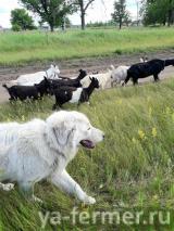 Мареммо-абруцкие овчарки