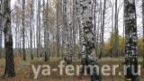 osen_berezovaya_roshcha_chistaya_setlaya.jpg