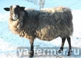 Овцематки, баранчики романовской породы фото