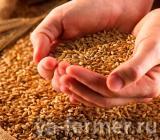 Семена пшеницы элита и 1 репродукция.
