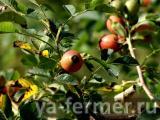 Польза от квашенной капусты, облепихи и плодов шиповника
