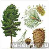 Сибирская сосна (Pinus sibirica)