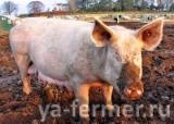 Свиной навоз как удобрение в теплицах.
