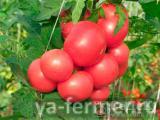 Семена томата Мажор F1 СеДеК