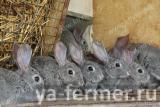 Кролики мясных пород (племенное поголовье)
