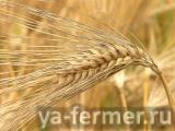 Семена ячменя Леон, Ратник, Вакула, Эней УА , Щедрый, Грис