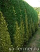 Живая изгородь из боярышника, акации и шиповника.