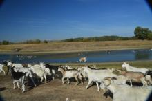 уход за козами