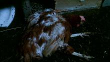 Курица лежит с закрытыми глазами и вытягивает лапы.