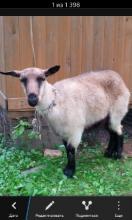 Порода козы?