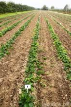 Как выращивается клубника