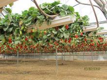 Способы выращивания клубники, способ №4