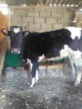 Корова после отёла даёт 1 литр молока
